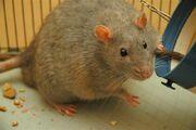 Rat diabetic.jpg
