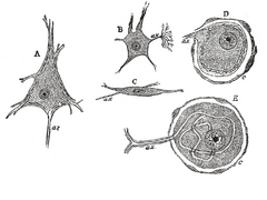 Ganglion cell - Various forms of nerve cells. A. Pyramidal cell. B. Small multipolar cell, in which the dendrites quickly divides into numerous branches. C. Small fusiform cell. D and E. Ganglion cells