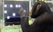 Chimpanzee Spatial Working Memory Test