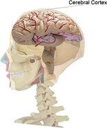 Cerebral Cortex location