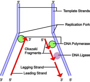 Dna Replication Psychology Wiki Fandom