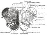 Arcuate nucleus (medulla)