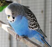 Blue male budgie