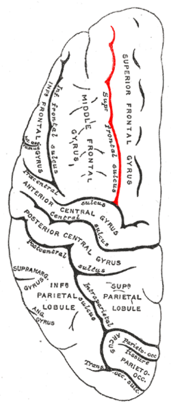 Gray725 superior frontal sulcus.png