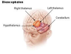 Illu diencephalon .jpg