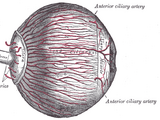 Ciliary muscles