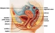 Female anatomy.png
