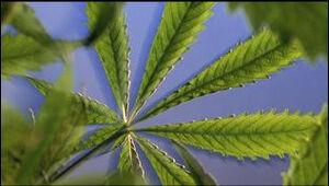 A cannabis sativa plant