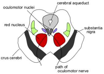 Cerebral Aqueduct Psychology Wiki Fandom The channel in the brain which connects the third ventricle to the fourth ventricle. cerebral aqueduct psychology wiki
