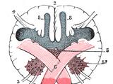 Gracile nucleus