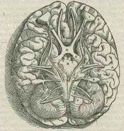 1543,AndreasVesalius'Fabrica,BaseOfTheBrain