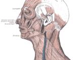 Temporoparietalis muscle