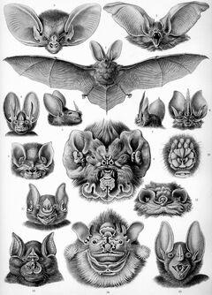 """""""Chiroptera"""" from Ernst Haeckel's Kunstformen der Natur, 1904"""
