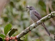 Lipaugus vociferans - Screaming Piha; Manaus, Amazonas, Brazil