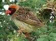 Red-billed Quelea (Quelea quelea) (6040990915).jpg