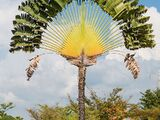 Madagaskari ränduripuu
