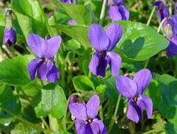 Violet-1-.jpg