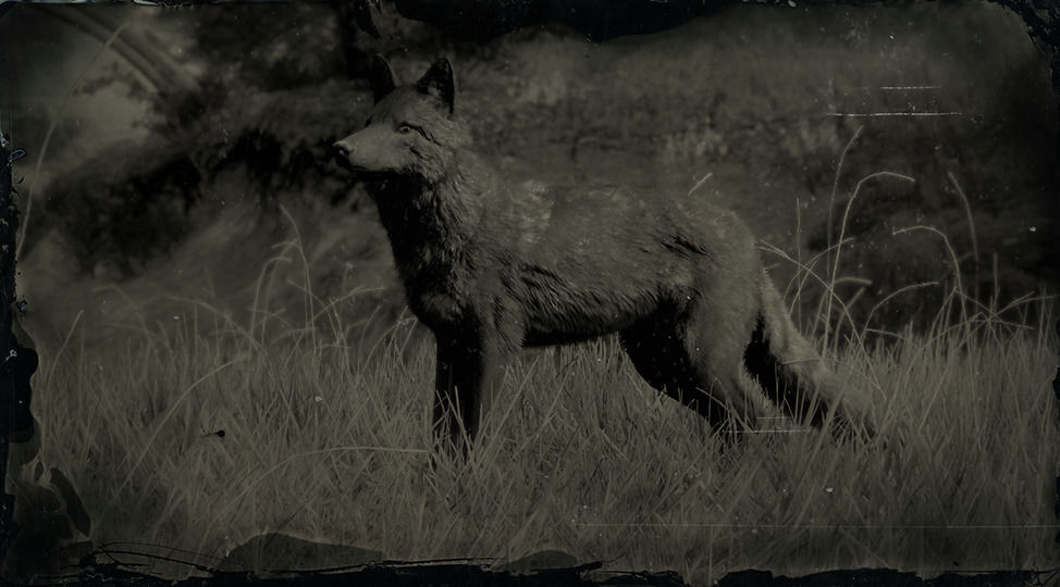 Coyote legendario