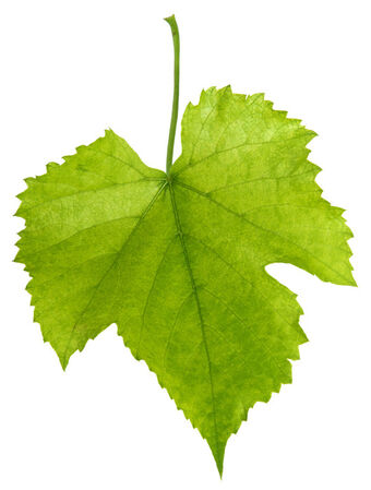 Grape Leaf Recipes Wiki Fandom