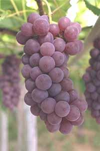 Delaware grape