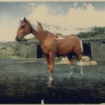 Kentucky Saddler Fuchs-Pinto 2.png