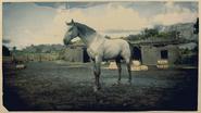Kentucky Saddler Schimmel 2