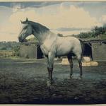 Kentucky Saddler Schimmel 2.png