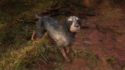 Räudiger Bluetick Coonhound (Rhodes)