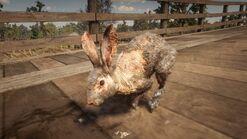 Räudiger Eselhase