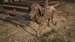 Räudiger Bluetick Coonhound