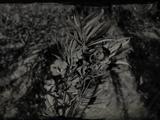 Oleandersalbei