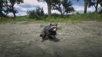 North American Raccoon near Emerald Ranch