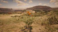 Prairie Poppy in Cholla Springs 3