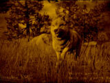 Legendary Moonstone Wolf