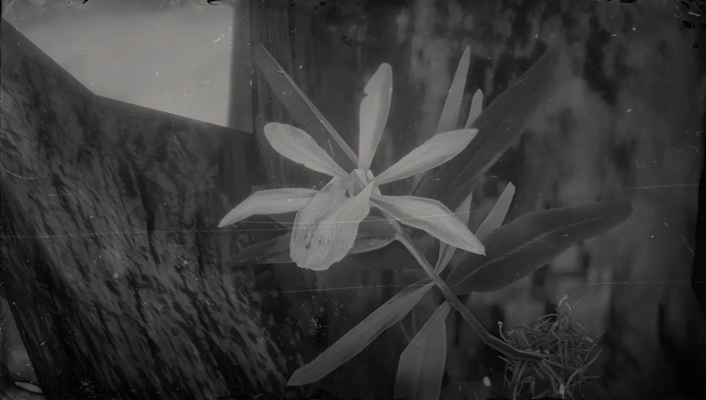 Acuna's Star Orchid