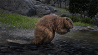 Beaver at the Upper Montana River