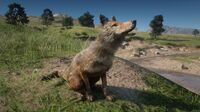 Coyote in Dewberry Creek 2