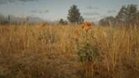 Prairie Poppy near Blackwater 2