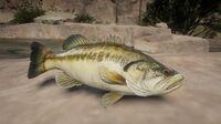 Largemouth Bass on a rock