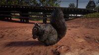 Western Gray Squirrel in Scarlett Meadows