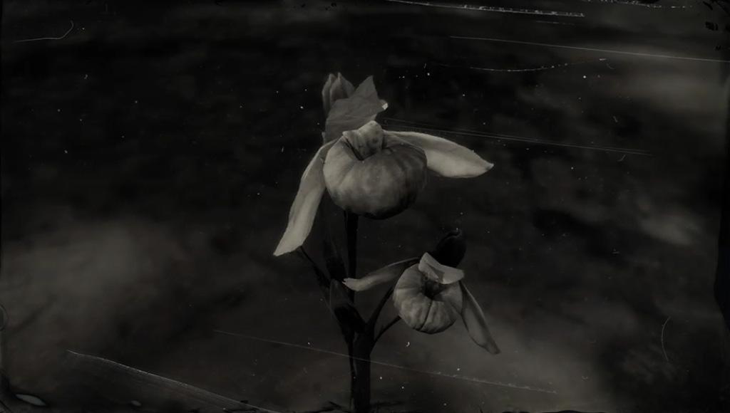 Queen's Orchid