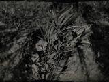 Oleander Sage