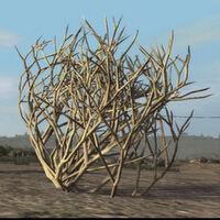 Tumbleweed-plant
