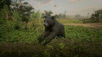 Black Bear in Bayou Nwa