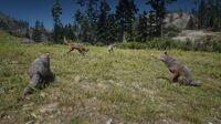 Coyotes in Big Valley