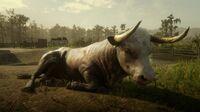 Hereford Bull in Saint Denis