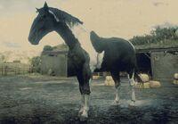 Piebald-horse