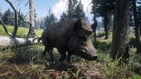 Wild Boar in Big Valley