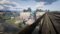 Rock Pigeon at Bard's Crossing