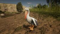 Pelican at Quaker's Cove
